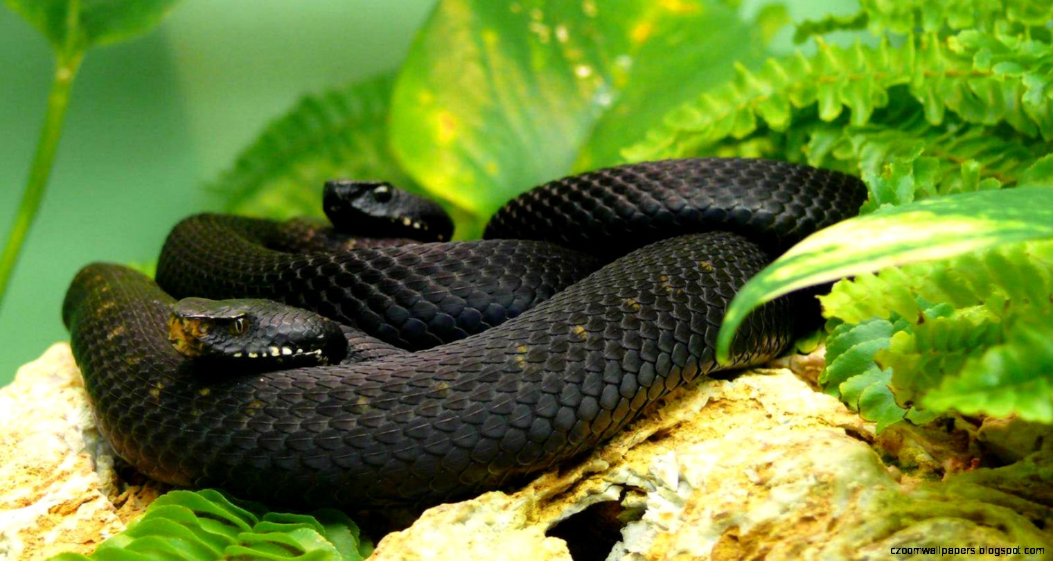 Black Mamba Snake Wallpapers  Black Mamba Snake Images  Cool