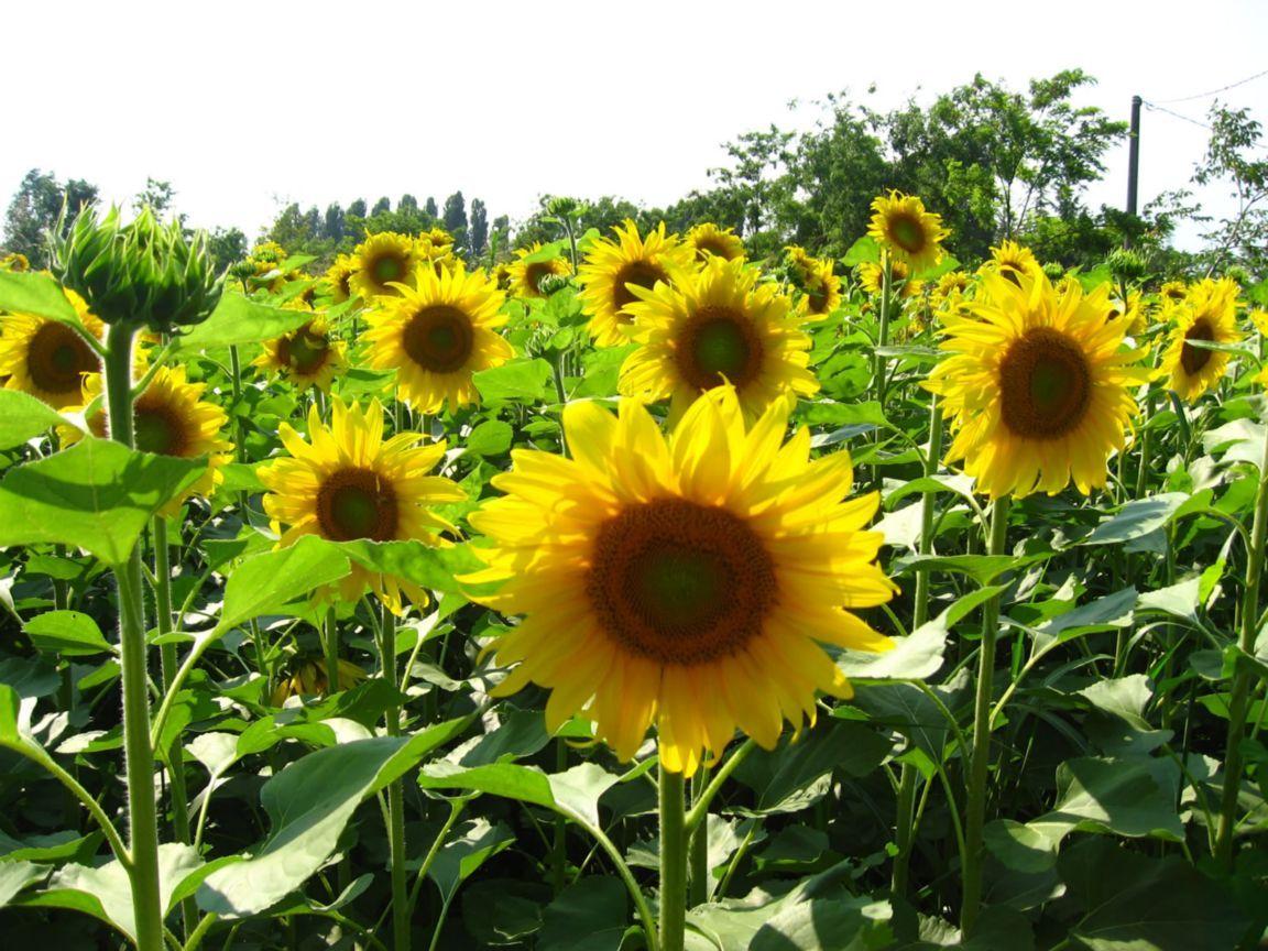 Wwe Wrestlers Profile Kansas State Flower Sunflower Gallery