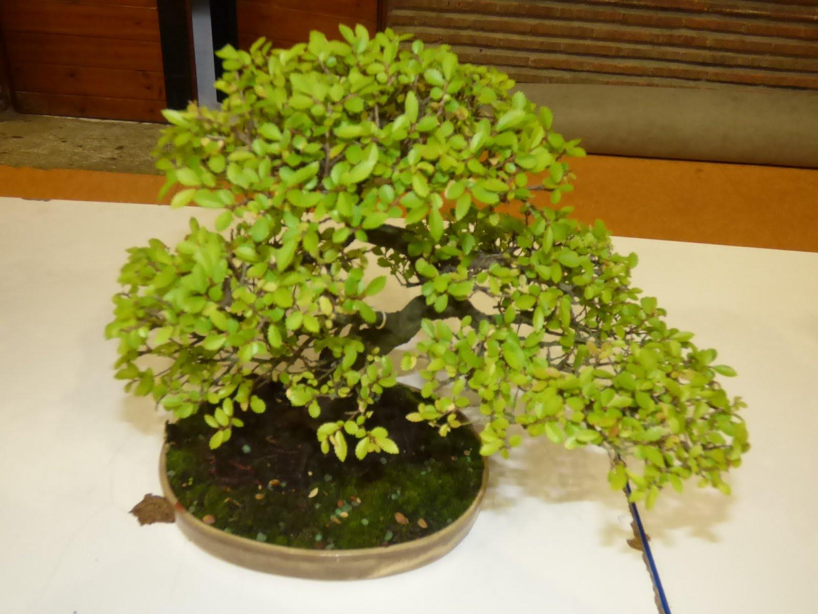 Exposición de bonsais