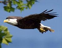 Acceptance Bald Eagle Jack Flying