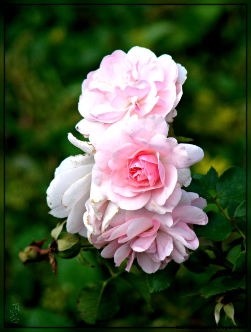 Light Pink Roses by 123LicenseToPaint on DeviantArt