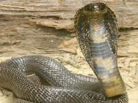 La danza de la cobra