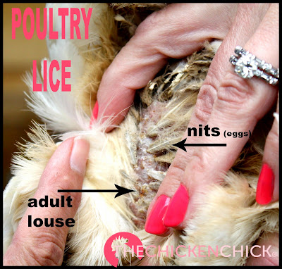 Chicken vent area shows poultry lice infestation.