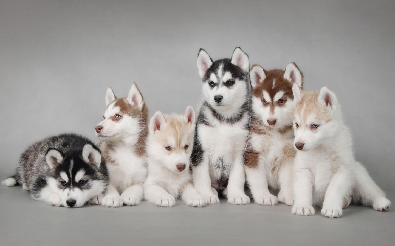 http://3.bp.blogspot.com/-J6p4dvkGkDc/T36SIvCTeVI/AAAAAAAABdk/gRsGoD45BtQ/s1600/husky-puppies-1440x900.jpg