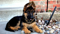 Puppy German Shepherd For Sale