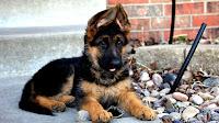 Puppy German Shepherd For Sale