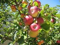Pohon buah apel merah