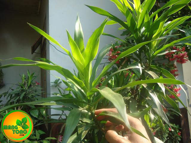 Cara menanam pohon suji dengan stek batang.