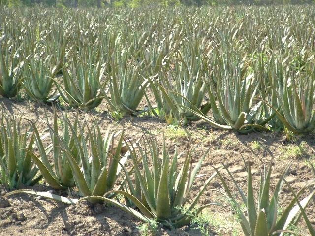 Plantas morenal aloe vera aloe barbadensis disponible en maceta de cultivo de 3 lts - Como cuidar la planta de aloe vera ...