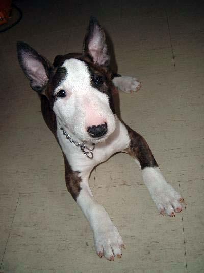 English Bull Terrier Puppy