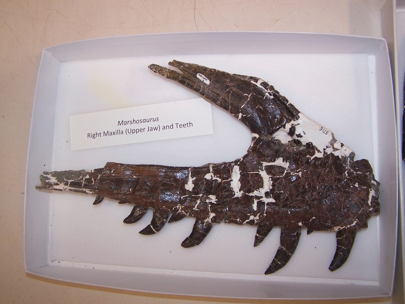 marshosaurus bicentesimus jaw is it real how to