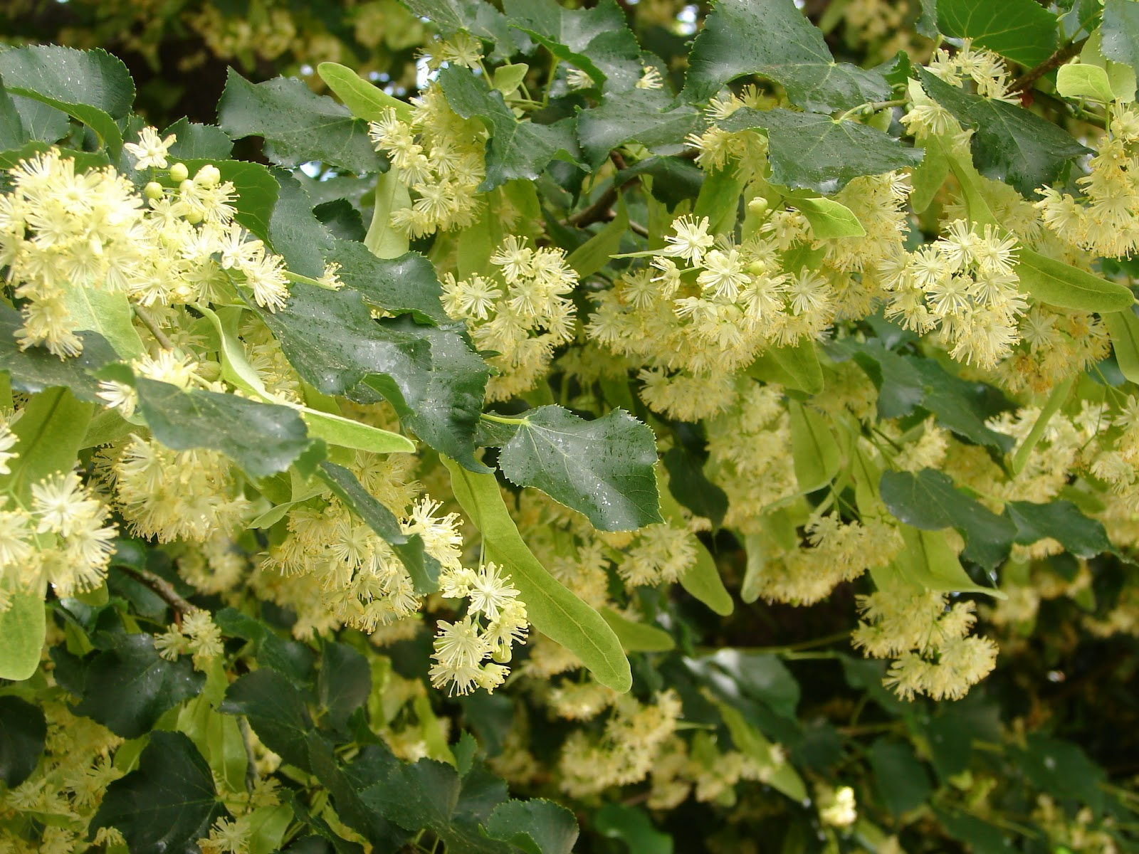 New Utah Gardener Stop And Smell The Linden Trees