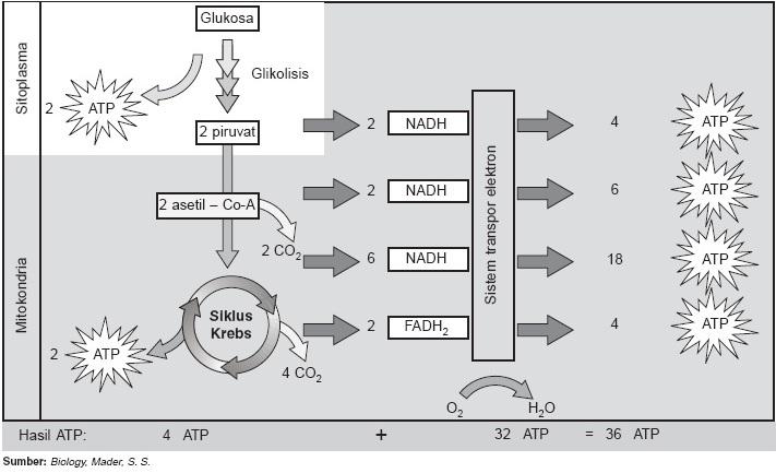 Respirasi aerob dan respirasi anaerob jumlah energi molekul glukosa organisme eukariotik ccuart Choice Image