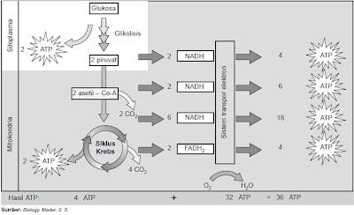 Jumlah energi molekul glukosa organisme eukariotik