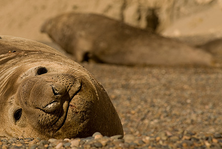 See-Elefanten im Halbinsel Valdés Patagonien Argentinien