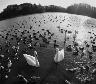 dicas fotos animais cisnes