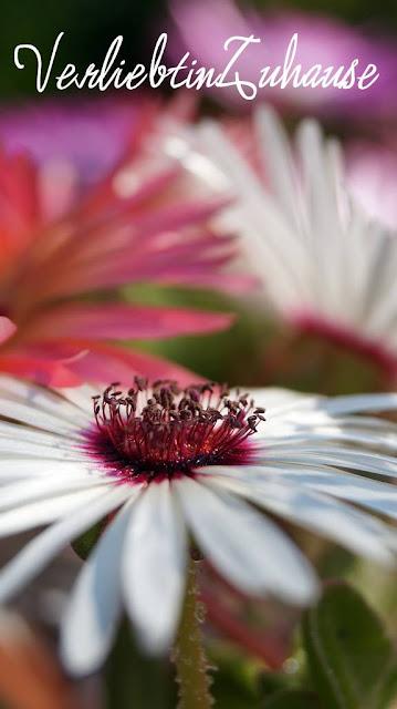 Makrofotografie: Weiße Mittagsblume
