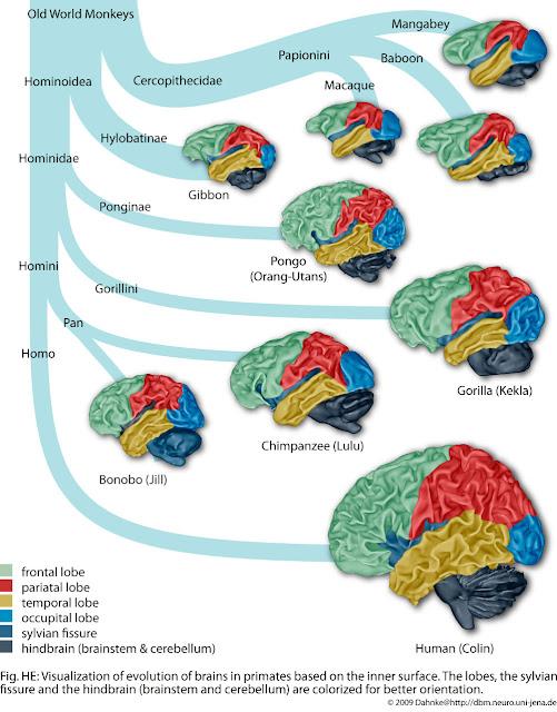 Brain Evolution