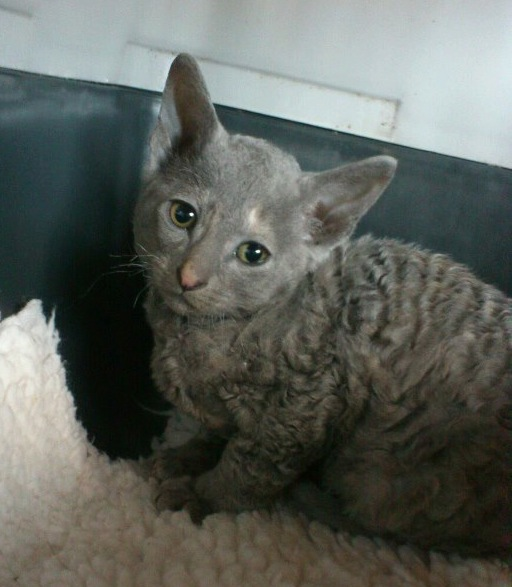 Aggy the Cornish Rex
