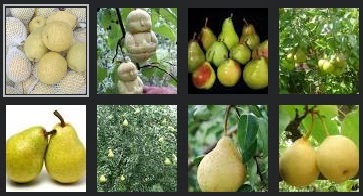manfaat buah pir