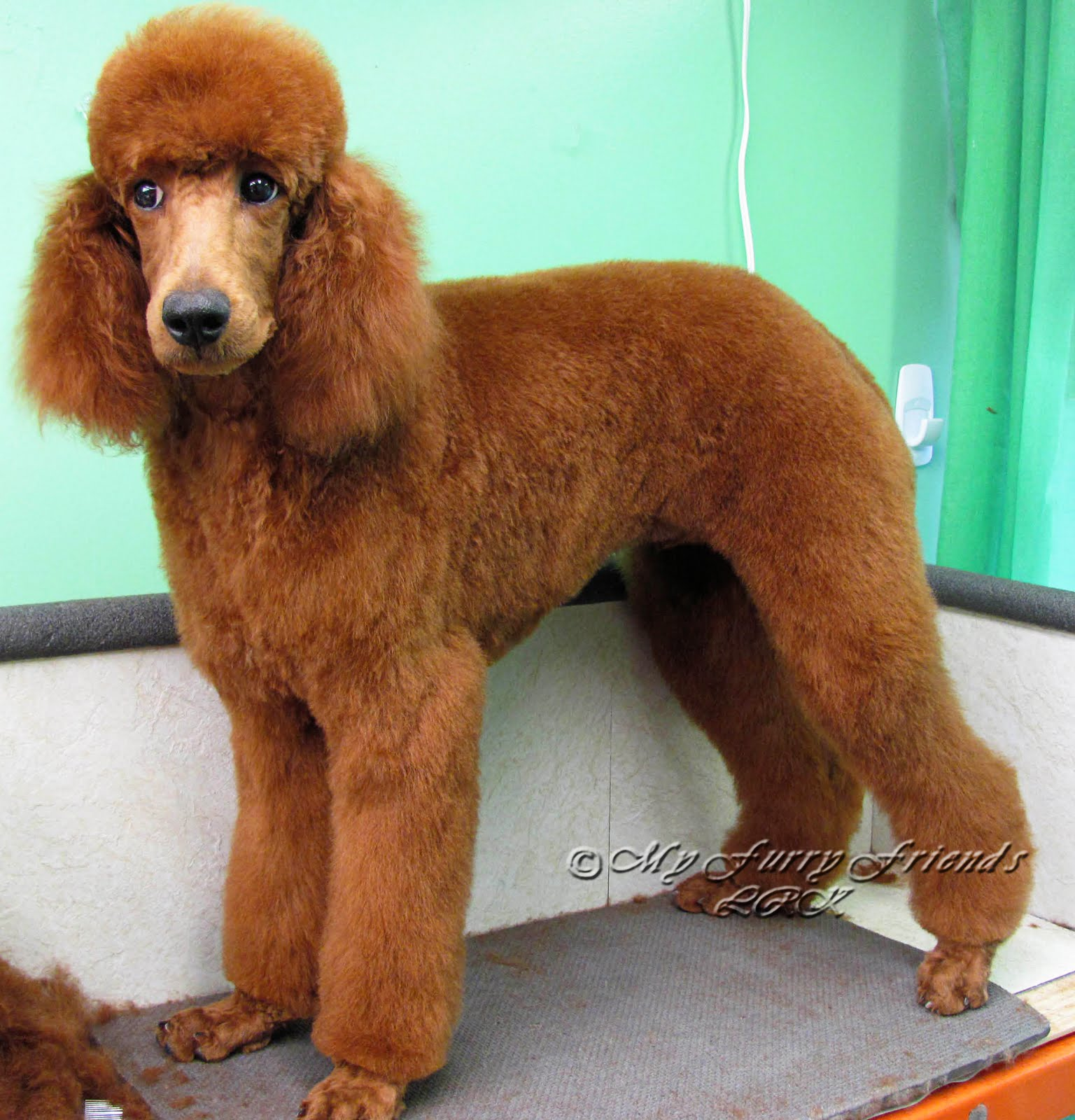 Grooming Your Furry Friend Does A Poodle Have To Be Groomed Like A