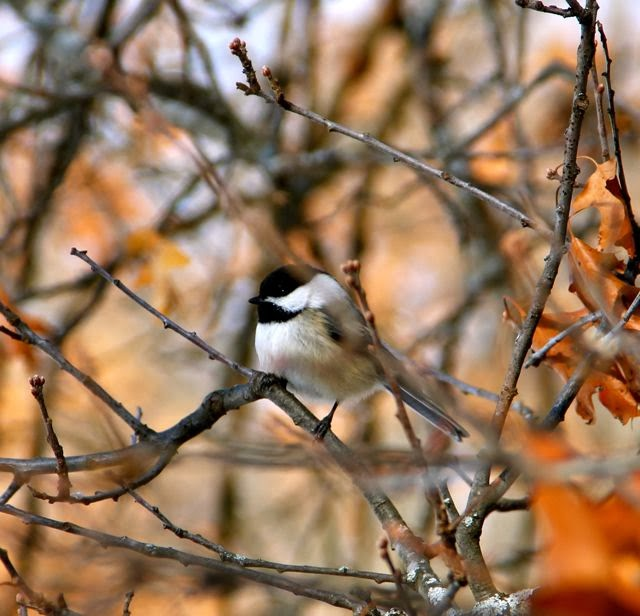 chickadee in oak tree