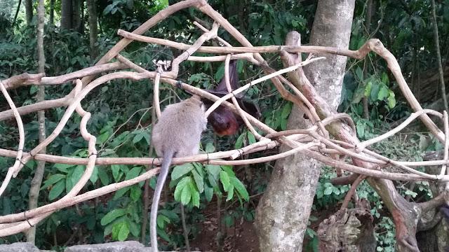 Zorros Voladores y monos en Alas Kedaton (Bali)