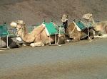 Camels in Lanzarote.