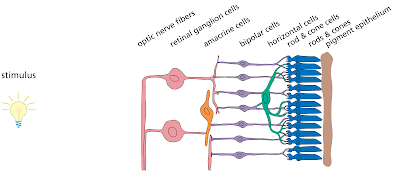 there are five types of neuronal cells in the retina