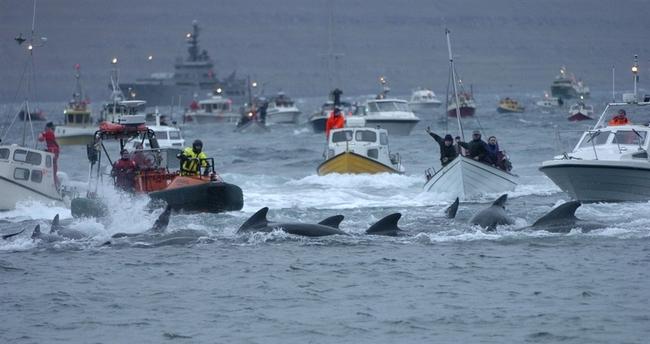 Matanza de ballenas en las Islas Feroe 21