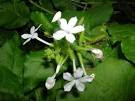 NATURAL REMEDIES FOR RHEUMATISM WITH Ceylon leadwort/White-flowered leadwort