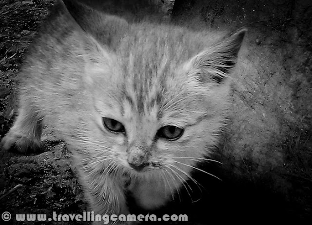 In Oct'2011, I was in Himachal Pradesh and traversed various regions of Shimla, Kullu and Mandi Districts. During one of the camping stations, we found this cute kitten. She played with us for hours and also had some breakfast at our camp. It was sad but finally we had to move on  by leaving her with her Mom in nearby cottage. It was Shavadh, I remember the name correctly. This photograph is clicked with HTC Desire HD Mobile.