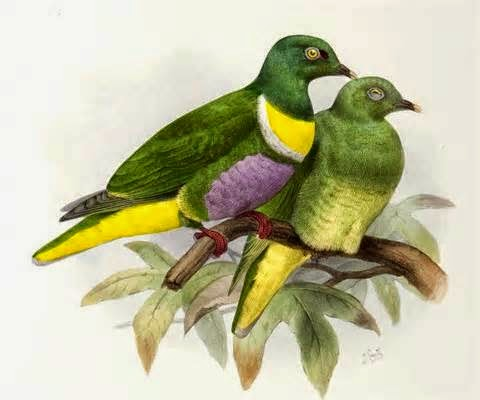 Yellow banded fruit dove