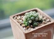 http://finfingarden.blogspot.com/2014/12/haworthia-cooperi-cactus-succulent.html