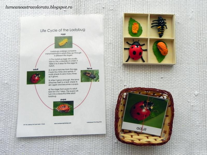Ciclul de viață la Buburuze + cartonașe Montessori