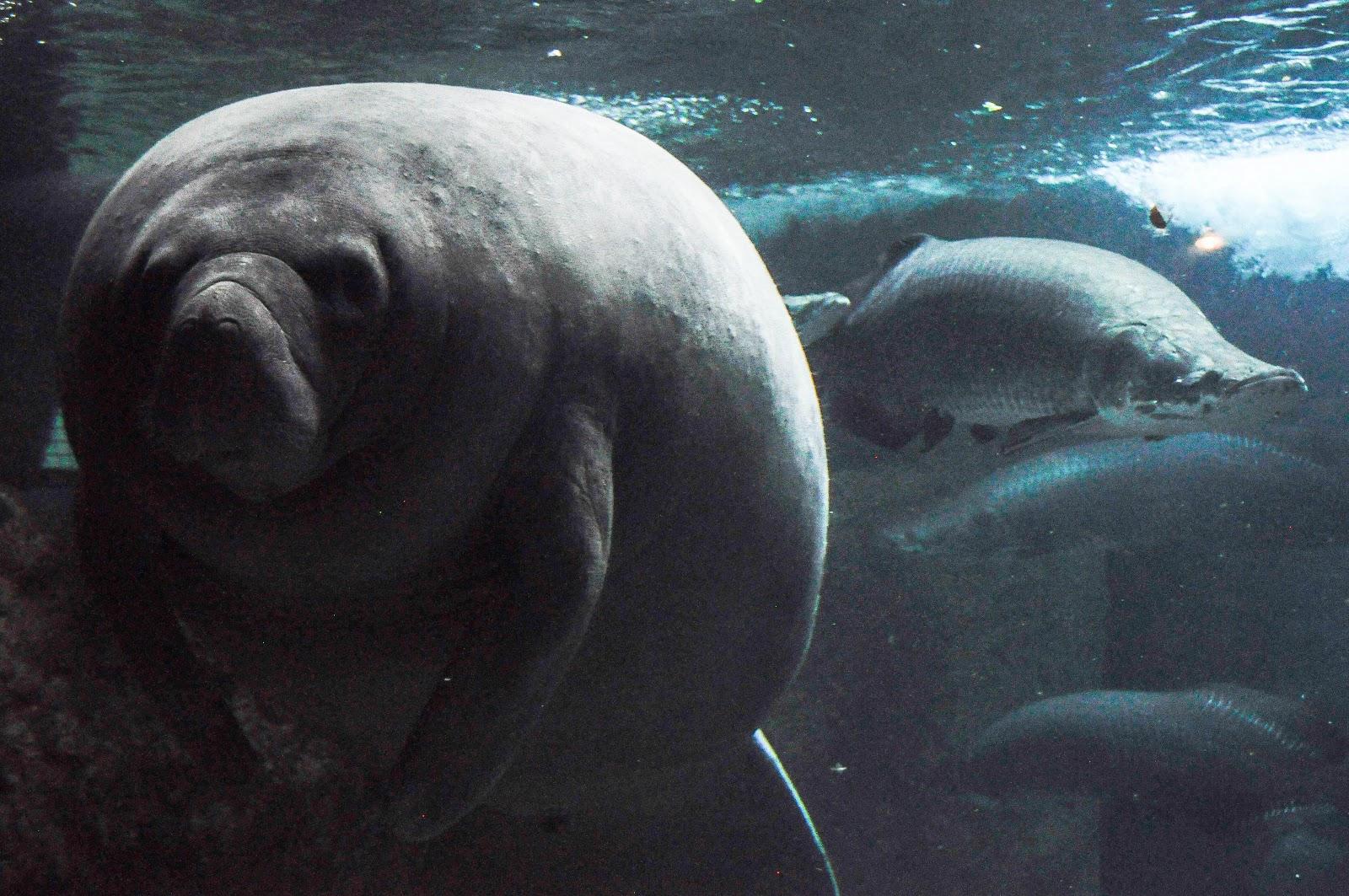 Laura krueger photography dallas world aquarium Manatee aquarium