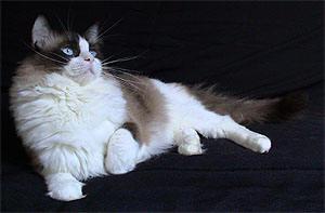 Gato Ragdoll R$ A cabeca do gato persa e