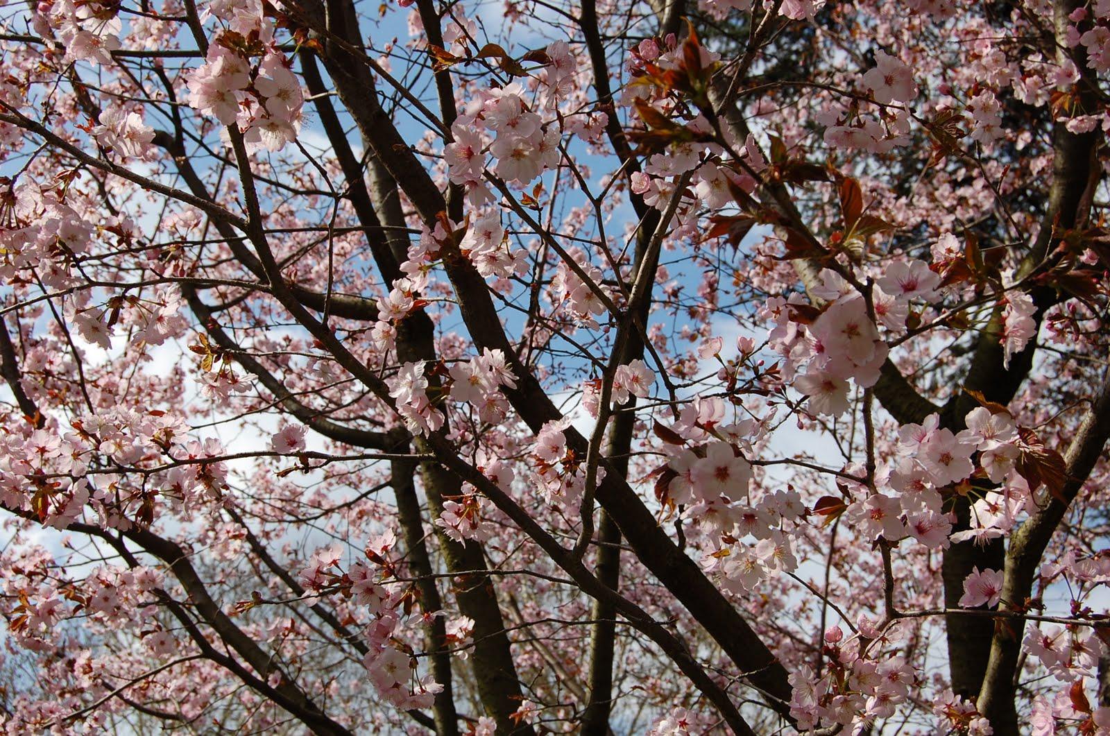 lanka cerisier du japon prunus serrulata. Black Bedroom Furniture Sets. Home Design Ideas