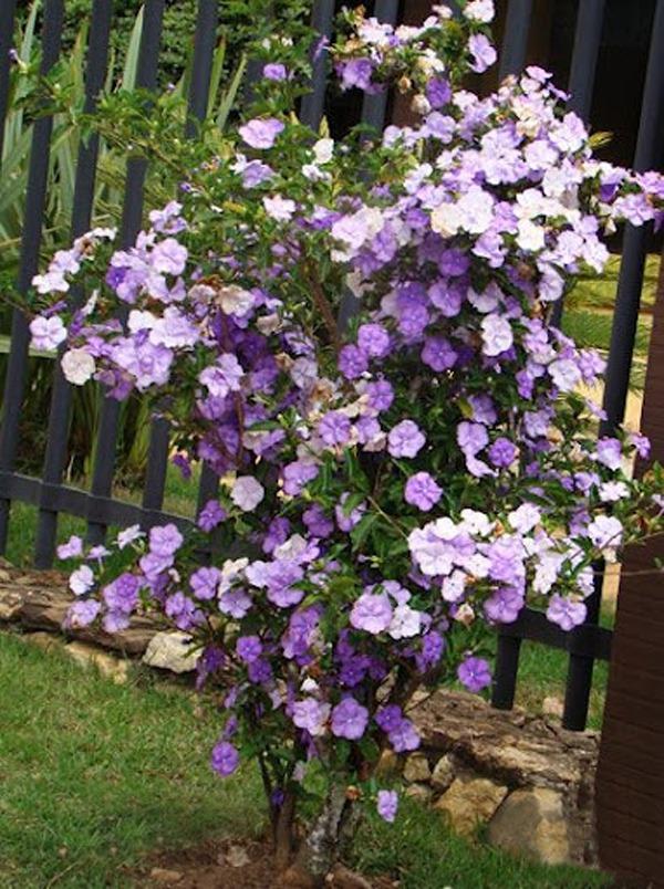 manaca de jardim em vaso : manaca de jardim em vaso:muda-de-manaca-de-cheiro-brunfelsia-unifloraapenas-r2950_MLB-F