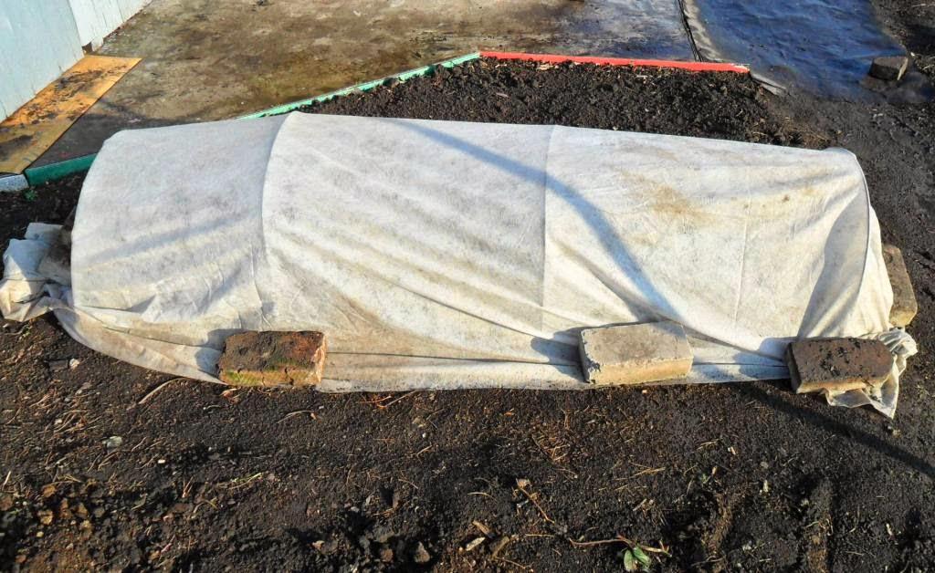 Грядка рассады капусты