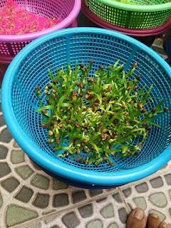 Cách trồng rau muống mầm tại nhà