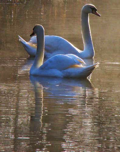 Swans are a common site on Britain's canals.