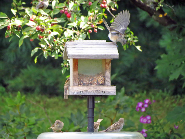 tufted titmouse has company on feeder