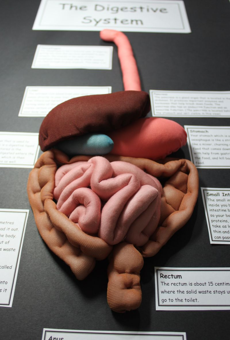 Make Your Own Digestive System Toy Clay Model