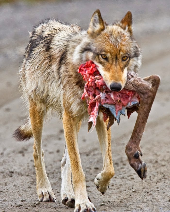 wolf eating a caribou deer