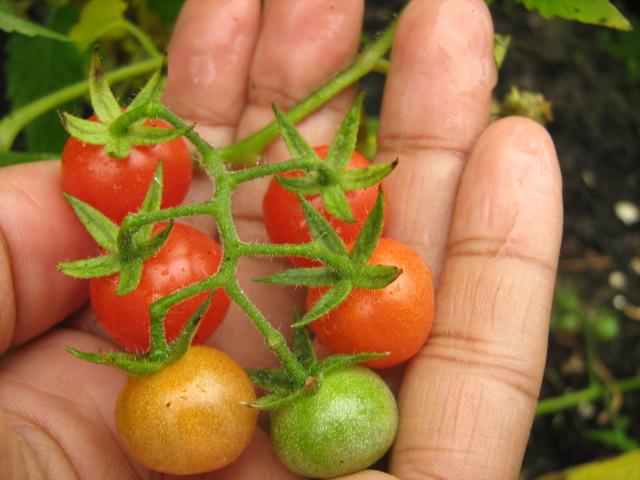 Je suis au jardin conserver ses graines de tomates favorites - Comment conserver les tomates du jardin ...
