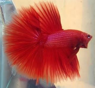 gambar ikan cupang merah hati