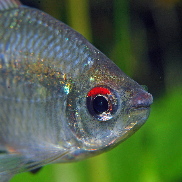 Other Diamond Tetra , Tetra fish , tropical fish pictures