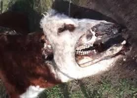 ακρωτηριασμό μιας αγελάδας