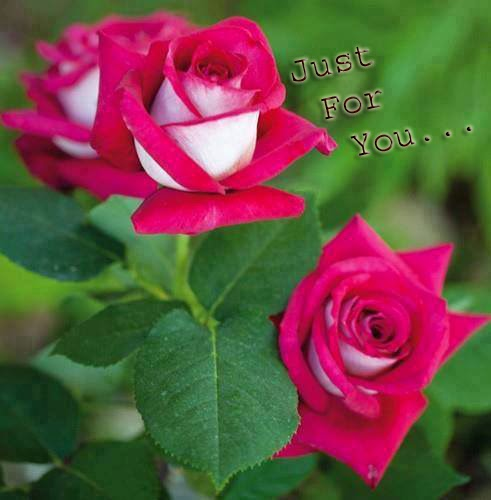 nice lovely rose wallpaper
